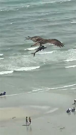 鱼鹰海里抓行幼鲨鱼?原形来了