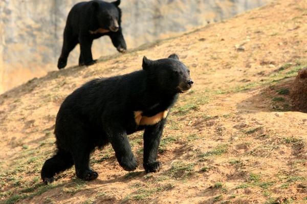 """""""黑熊掰棒子""""的故事你还在信?它的智商比你想象的可高多了!"""