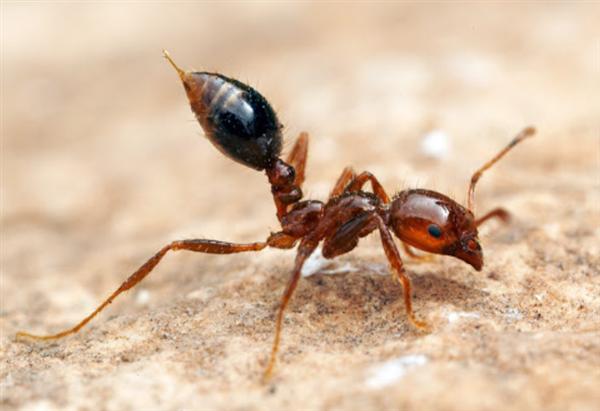红火蚁入侵12省份 专家:遇到快跑 攻击性极强