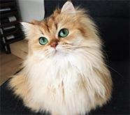 据说这是世界上最美的猫咪