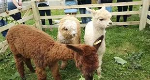 萌翻了!这个学校养了3只羊驼 只为给学生减压