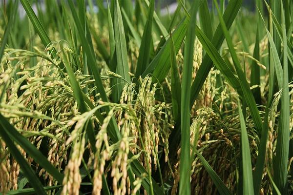 """袁隆平宣布""""海水稻""""目标:8-10年增产300亿公斤粮食 养活8000万人"""