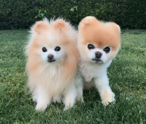 "wwwgougou_拥有1600万粉丝和""世界最可爱狗狗""头衔:博美犬Boo本周去世-狗 ..."