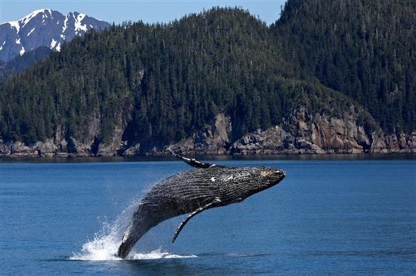 75头灰鲸死亡 美召集专家调查