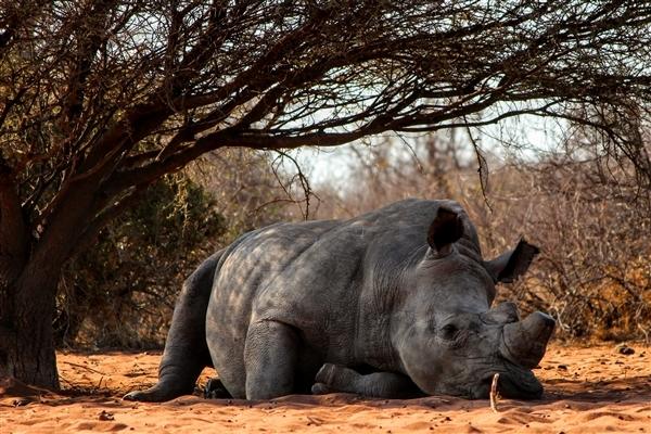 关于犀牛的5个惊人数字统计