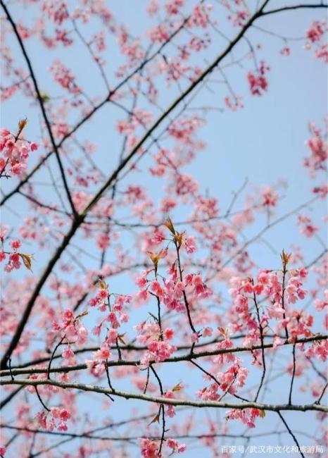 武汉樱花开了:不知道有没有鸟儿来吃花蜜