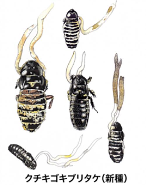 """日本人发现了长在蟑螂身上的""""冬虫夏草"""""""