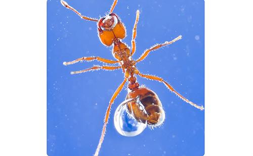 吃鸟蛋啃电路 把人咬休克的红火蚁到底有多无敌?