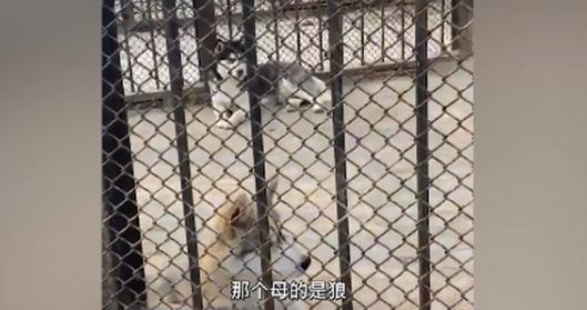 动物园回应狼圈养哈士奇:情况属实、还和狼生了个串