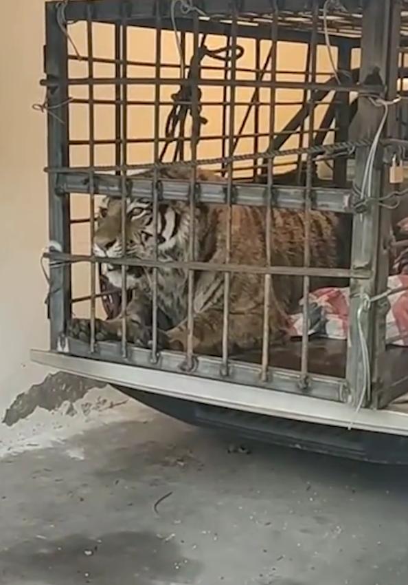 闯村伤人老虎被命名完达山1号:体重450斤、雄性2-3岁