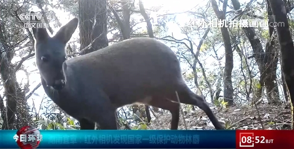中国一级保护动物林麝被红外相机发现:能分泌麝香