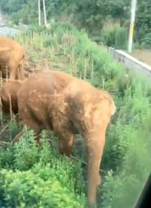 渣土车司机讲述围堵大象惊魂一幕:脸对脸10秒钟、害怕又激动