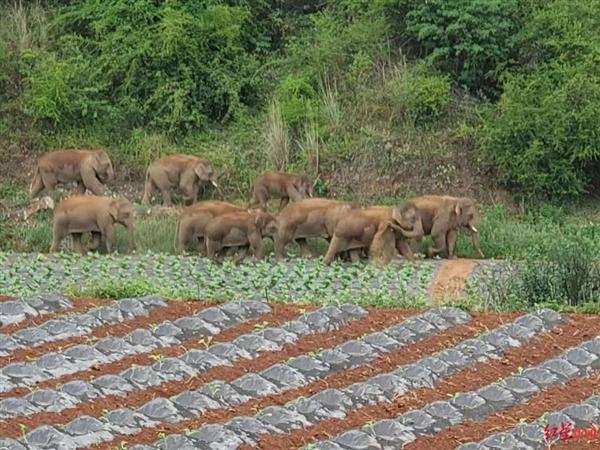 野象群为何一路北上?专家解读:很不正常、象群首领出问题