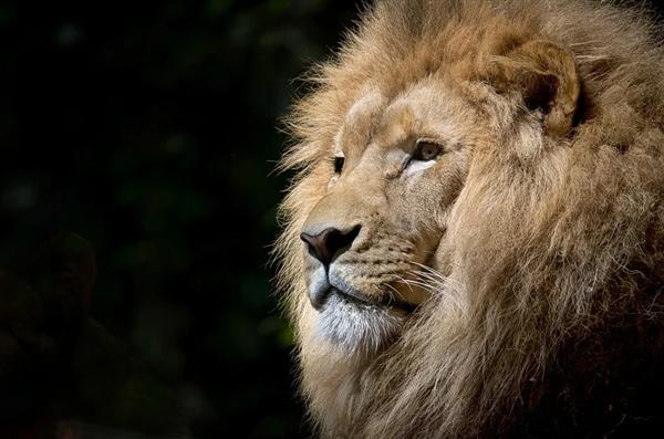 印度动物园9岁母狮感染新冠死亡:还有8只确诊 感染源未知