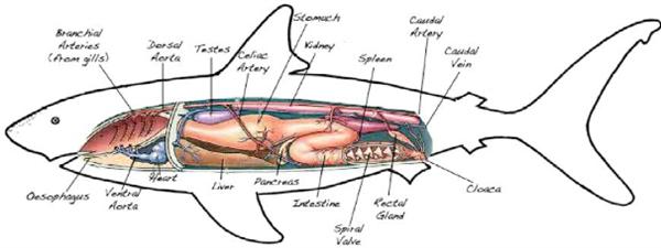 跨物种的排便困难:鲨鱼不幸脱肛 谢谢已社死