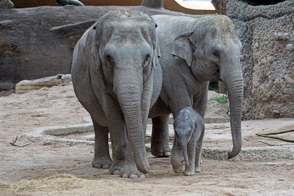 云南离群独象掉队12公里:或因肚子饿在找吃的