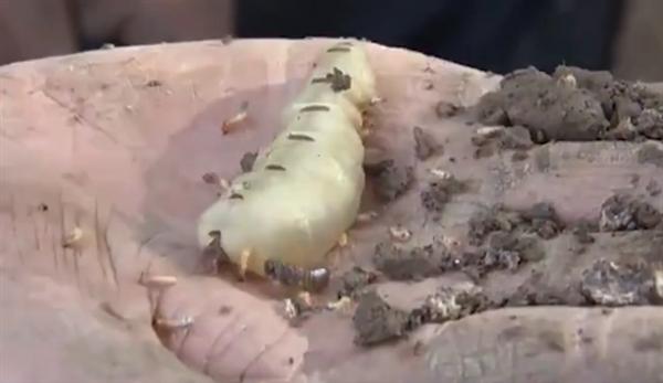 湖北发现超大蚁穴挖出超大蚁后:体长5厘米 巢穴形成超60年