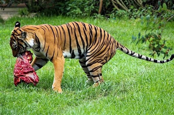 小心有老虎!辽宁抚顺村民发现猫科动物踪迹
